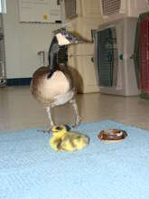 """""""Hannah,"""" foster Canada goose with orphan"""