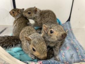 Infant Grey squirrels