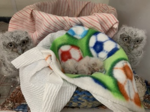 Nestling screech owls with newhatch babies