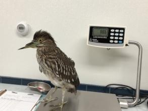 Injured heron at admit