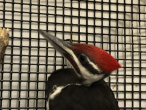 Pileated woodpecker at admit