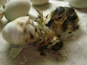 Mallard ducklings hatching