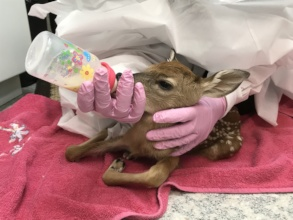 Newly admitted new-born white-tailed deer fawn