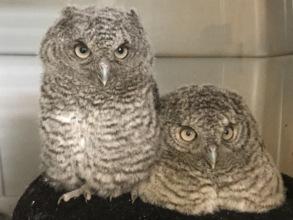 Nestling Eastern Screech Owls
