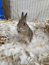 Juvenile Cottontail rabbit--raised from 1 day old