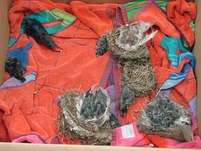 Swallows orphaned after the use of Tangle Foot