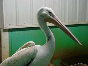 White Pelican in pool habitat