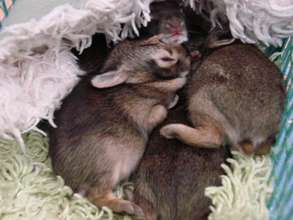 Orphaned cottontail rabbits