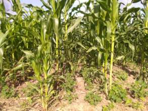 Condition maize farm after controlling armyworm.