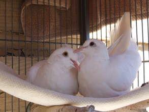 Doves Pierre & Piper