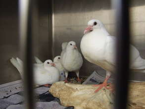 Domestic Pigeons Can't Be Released
