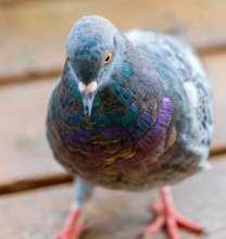 I Am a City Pigeon