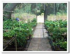 Rainforest Rescue's Daintree Nursery