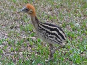 A Cassowary Chick