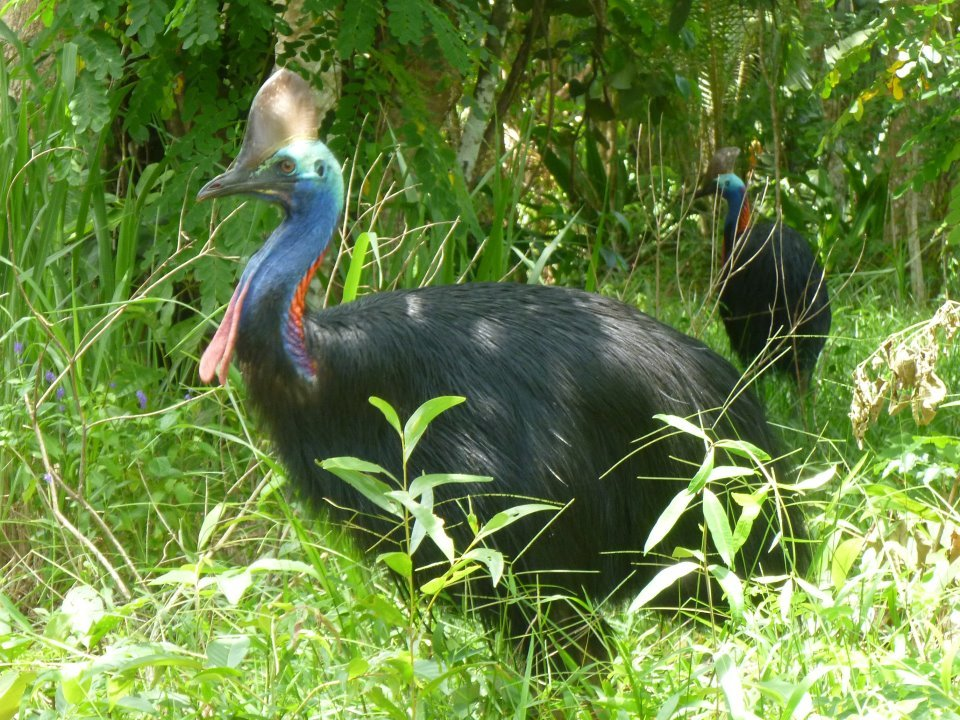 Save the Cassowary from Extinction in Australia