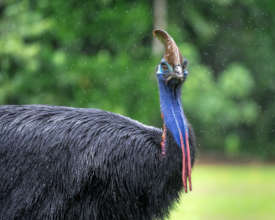 Cassowary (Martin Stringer Photography)