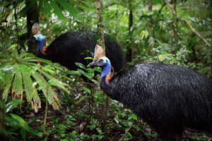 Two cassowaries (Martin Stringer Photography)