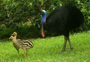 The Cassowary - a doting father