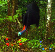 Camera trap photo: cassowary attracted to red lure