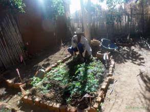 Moringa oleifera seedlings