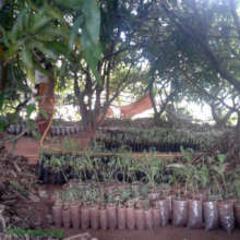 A sea of seedlings in the mango forest
