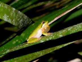 Eastern Dwarf Tree Frog - Allen Sheather