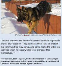 Edmonton Police Dog Quanto in action