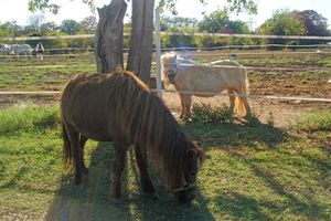 Two of our mini horses