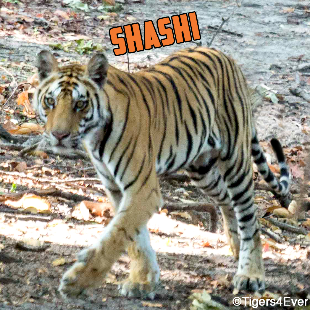 Image for Help Shashi The Tiger and His Friends Have a Wild Future in 2020 for Shashi's Birthday
